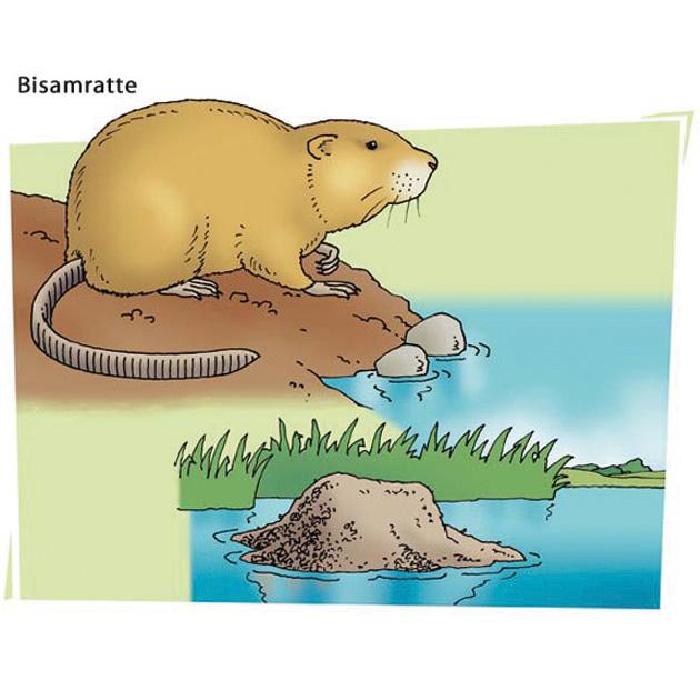 Bisamratte - Motiv für Naturlehrpfad
