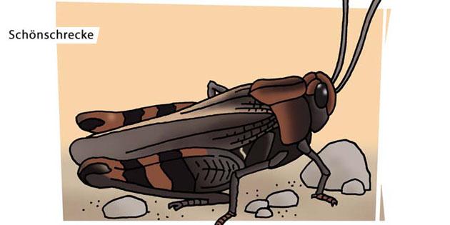 Schönschrecke - Motiv für Naturlehrpfad