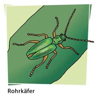 Rohrkäfer - Motiv für Naturlehrpfad