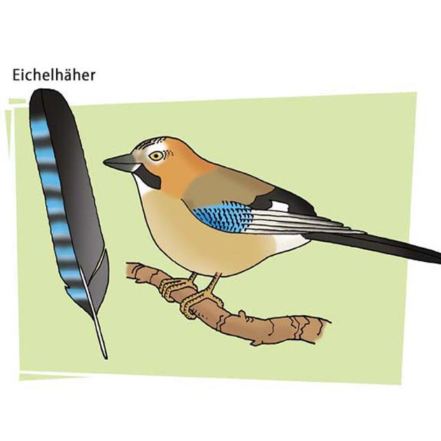 Eichelhäher - Motiv für Naturlehrpfad